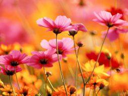 z24587136IH,Najpiekniejsze-kwiaty-z-ogrodow-naszych-babc