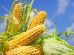sezon-na-kukurydze-13937