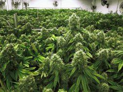 z21799624V,Medyczna-marihuana