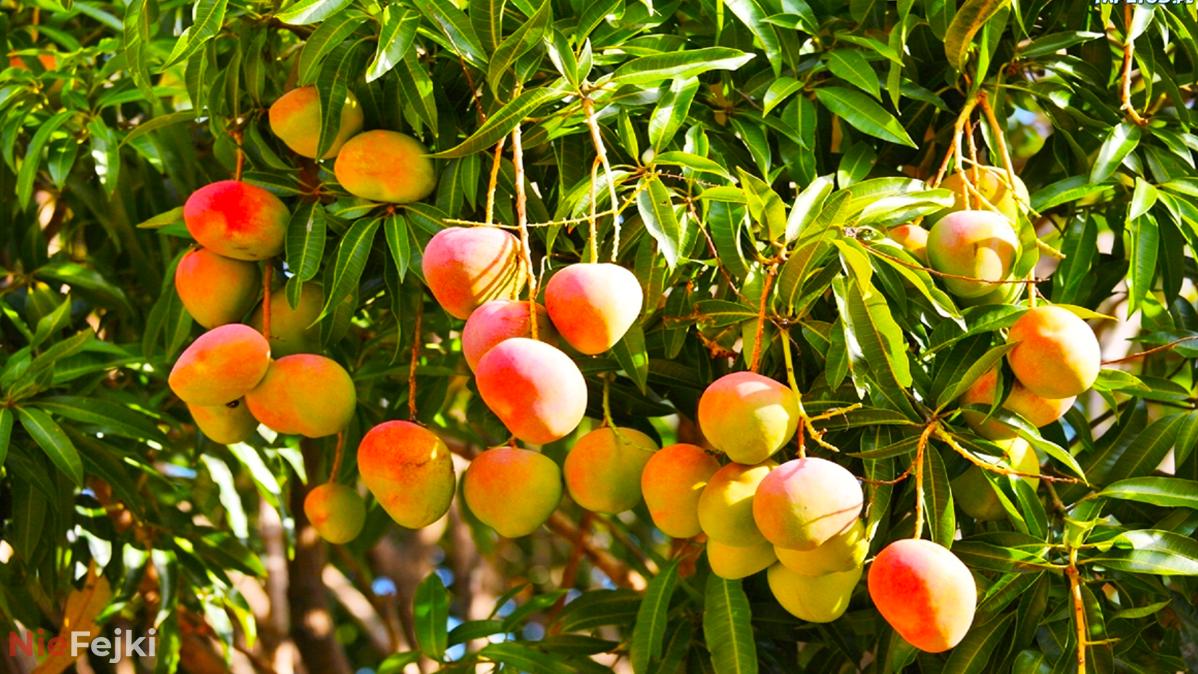 Wystarczy jeść jedno mango dziennie, a jego właściwości pozwolą Ci na…
