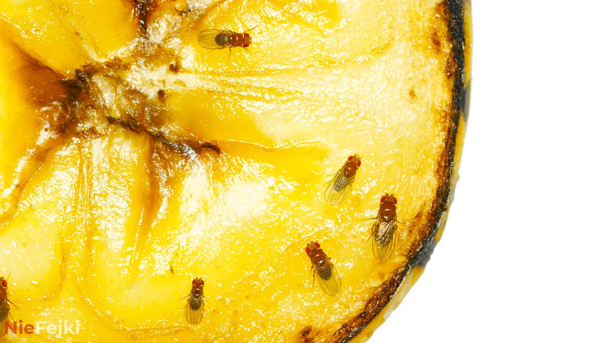 Muszki owocówki, prosty sposób jak się ich pozbyć!
