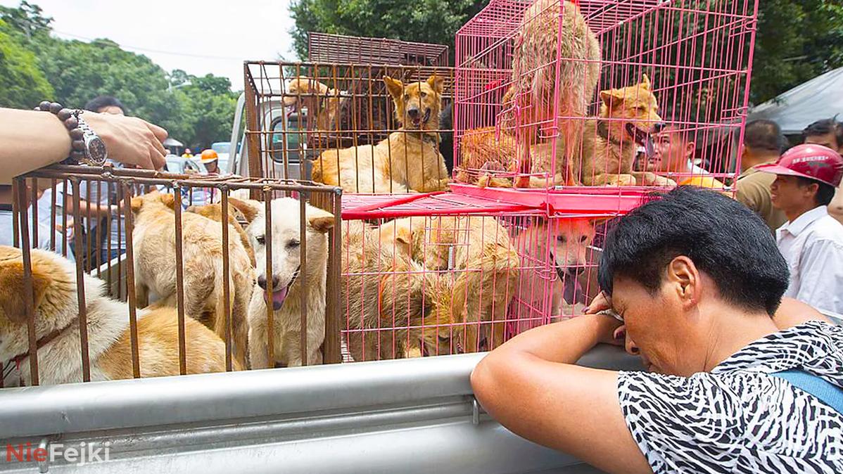 Chiny organizują bestialski festiwal na którym…